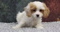 Cavapoo Puppies for sale in Columbus, OH 43214, USA. price: NA