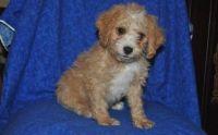 Cavapoo Puppies for sale in Boston, MA 02123, USA. price: NA