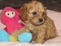 Cavapoo Puppies for sale in Detroit, MI 48227, USA. price: NA