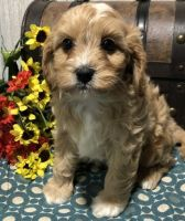 Cavapoo Puppies for sale in Louisville, KY 40221, USA. price: NA