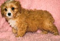Cavapoo Puppies for sale in Lowell, MA 01852, USA. price: NA