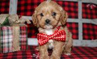 Cavapoo Puppies for sale in Birmingham, AL 35232, USA. price: NA