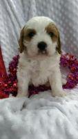 Cavapoo Puppies for sale in IL-53, Itasca, IL, USA. price: NA