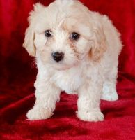 Cavapoo Puppies for sale in Waterbury, CT, USA. price: NA