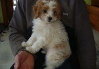 Cavapoo Puppies for sale in Omaha, NE 68139, USA. price: NA