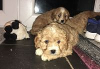 Cavapoo Puppies for sale in Texas City, TX, USA. price: NA