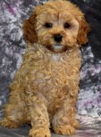 Cavapoo Puppies for sale in Portland, OR 97236, USA. price: NA