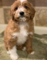 Cavapoo Puppies for sale in Phoenix, AZ, USA. price: NA