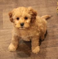 Cavapoo Puppies for sale in Tulsa, OK 74135, USA. price: NA