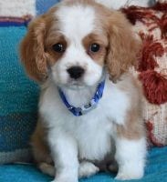 Cavapoo Puppies for sale in Springfield, IL 62736, USA. price: NA