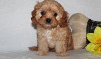 Cavapoo Puppies for sale in Saginaw, MI, USA. price: NA