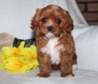 Cavapoo Puppies for sale in Macomb, MI 48042, USA. price: NA
