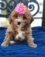 Cavapoo Puppies for sale in Sterling, VA, USA. price: NA