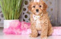 Cavapoo Puppies for sale in Phoenix, AZ 85069, USA. price: NA