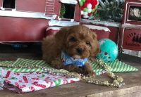 Cavapoo Puppies for sale in Warrendale, PA, USA. price: NA