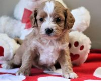 Cavapoo Puppies for sale in Jonesboro, AR, USA. price: NA