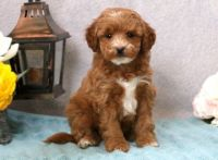Cavapoo Puppies for sale in Raleigh, NC 27668, USA. price: NA