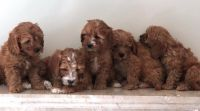 Cavapoo Puppies for sale in Fresno, CA, USA. price: NA