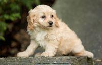 Cavapoo Puppies for sale in Centreville, VA, USA. price: NA