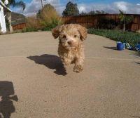 Cavapoo Puppies for sale in Scottsdale, AZ, USA. price: NA