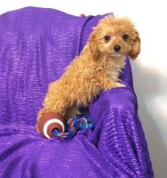 Cavapoo Puppies for sale in New Orleans, LA 70116, USA. price: NA