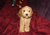 Cavapoo Puppies for sale in Russell Springs, KY 42642, USA. price: NA