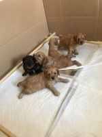 Cavapoo Puppies for sale in Boston, MA, USA. price: NA