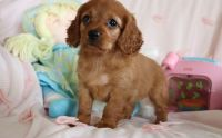 Cavapoo Puppies for sale in Beverly Hills, CA, USA. price: NA