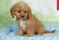 Cavapoo Puppies for sale in Detroit, MI, USA. price: NA
