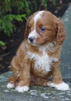 Cavapoo Puppies for sale in Tinley Park, IL, USA. price: NA