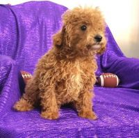 Cavapoo Puppies for sale in Des Plaines, IL, USA. price: NA