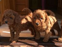 Cavapoo Puppies for sale in Dallas, TX, USA. price: NA