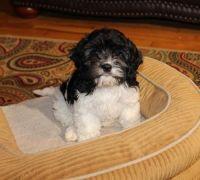 Cavapoo Puppies for sale in Marietta, GA, USA. price: NA