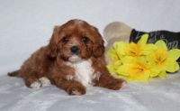 Cavapoo Puppies for sale in Frisco, TX, USA. price: NA