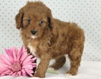 Cavapoo Puppies for sale in Spartanburg, SC, USA. price: NA