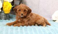 Cavapoo Puppies for sale in Roanoke, VA 24030, USA. price: NA