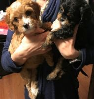 Cavapoo Puppies for sale in Elliottville, KY 40317, USA. price: NA
