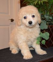 Cavapoo Puppies for sale in Duncanville, TX, USA. price: NA