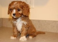 Cavapoo Puppies for sale in Marsh Ln, Dallas, TX, USA. price: NA