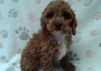 Cavapoo Puppies for sale in Montevallo, AL 35115, USA. price: NA