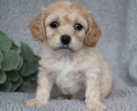 Cavapoo Puppies for sale in Columbus, MS, USA. price: NA