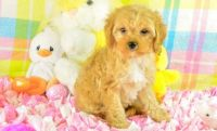 Cavapoo Puppies for sale in Charleston, WV 25356, USA. price: NA