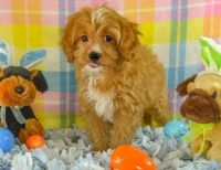 Cavapoo Puppies for sale in Worcester St, Framingham, MA, USA. price: NA