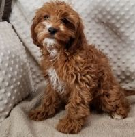 Cavapoo Puppies for sale in Orlando, FL 32818, USA. price: NA