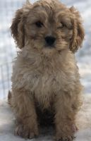 Cavapoo Puppies for sale in Kansas City, MO, USA. price: NA