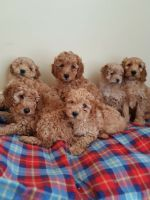 Cavapoo Puppies for sale in Pondfield Rd, Bronxville, NY 10708, USA. price: NA