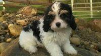 Cavapoo Puppies for sale in Wichita, KS, USA. price: NA
