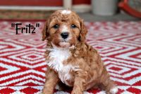 Cavapoo Puppies for sale in Scottsville, KY 42164, USA. price: NA