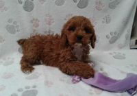 Cavapoo Puppies for sale in Edgartown, MA, USA. price: NA