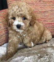Cavapoo Puppies for sale in Renton, WA, USA. price: NA